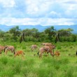 Wild impala - Stockfoto