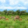 Wild impala — Stock Photo #5692786