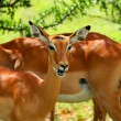 Wild antelope — Stock Photo