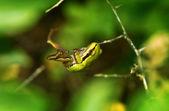 Greem-frosch — Stockfoto