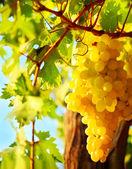 Closeup on grape — Stock Photo