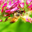 Bee closeup — Stock Photo #5732377