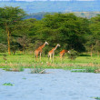 Family of wild giraffes — Stock Photo #5732505