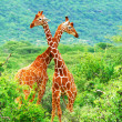 Fight of two giraffes - Stock Photo