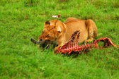 Wild africam lioness eating wildebeest — Stock Photo