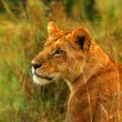 Lioness in the wild — Stock Photo #5789091
