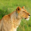 Wild african lioness — Stock Photo #5789285