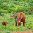 Stock Photo: Elephants in the wild