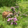 Impala in the wild — Stockfoto