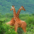 Fight of two giraffes — Stock Photo #5789926