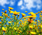Spring field of yellow daisies — Stock Photo