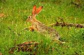 Running hare in the wild — Stock Photo