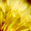 Soft dandelion flower background - Stock Photo