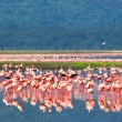African flamingos — Stock Photo