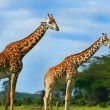 Family of wild giraffes — Stock Photo