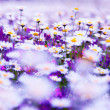 Daisy field — Stock Photo #5833511