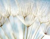 Fond abstrait fleur de pissenlit — Photo