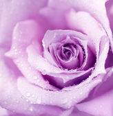 Purple wet rose background — 图库照片