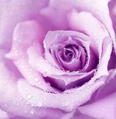 紫色湿玫瑰背景 — 图库照片