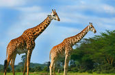 Famille de girafes sauvages — Photo