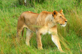 Wild african lioness — Stock Photo
