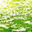 Spring field of daisies — Stock Photo #5887152