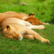 Sleeping lions - Stock Photo