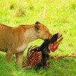 Wild africam lioness eating wildebeest - Stock Photo