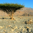 Single tree in Omans Desert - Stock Photo