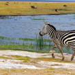 African Wild Zebra - Stock Photo