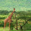 Giraffe in the wild — Stock Photo #5936461