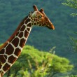 Giraffe in the wild — Stock Photo #5936612