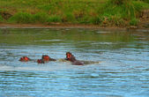 Family of hippos in the lake — Stock Photo