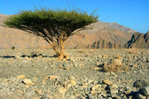 Single tree in Omans Desert — Stock Photo