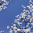 Blooming tree — Stockfoto