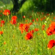 Poppy meadow - Stock Photo