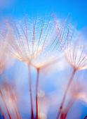 Abstract dandelion flower background — Stock Photo