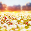 Daisy field over sunset - Stock Photo