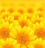 Fresh yellow flower background — Stock Photo