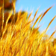 Wheat field — Stock Photo #6232142