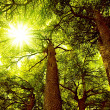 Sunny Cedar forest - Stock Photo