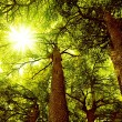 Stock Photo: Sunny Cedar forest