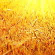 Sunny wheat field — Foto de Stock