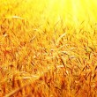 Sunny wheat field - Foto de Stock