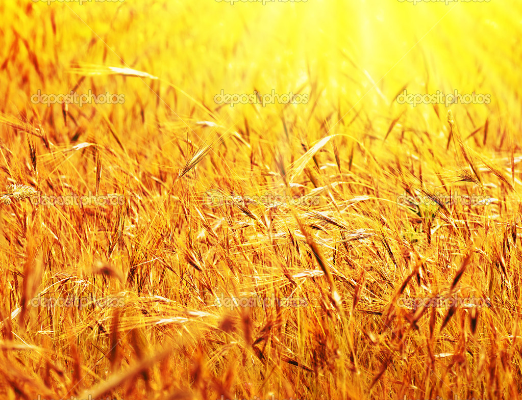 Wheat field sunny landscape, closeup on rye with selective focus, harvest concept  Stock Photo #6298565
