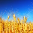 Wheat field — Stock Photo #6377663