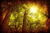 Cedar tree forest — Stock Photo