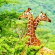 Stock Photo: African giraffes family