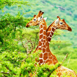 Stock Photo: Africgiraffes family
