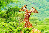 African giraffes family — Stock Photo